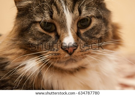 Domestic brown and white cat