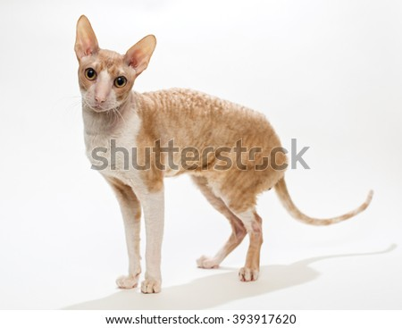 Domestic cat breed the Cornish Rex,  on white background