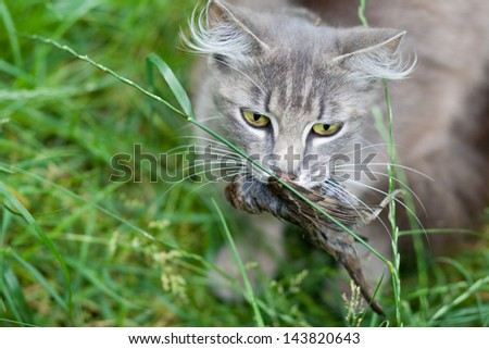 Domestic cat catches sparrow
