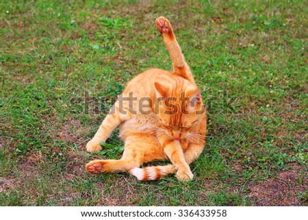 Domestic cat cleaning itself with paw holding up. - stock photo