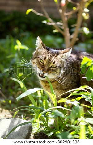 domestic cat eating grass, eats grass like a drug