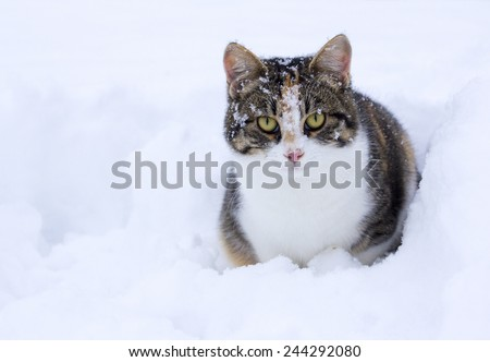 Domestic cat enjoying first snow.