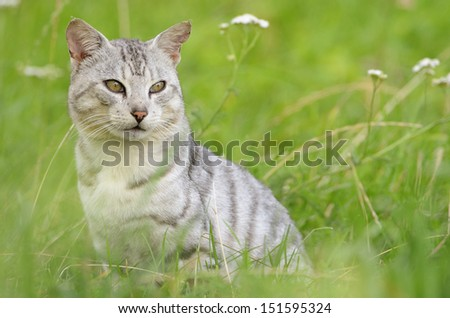 Domestic cat in meadow with pretty white tiger like fur. - stock photo
