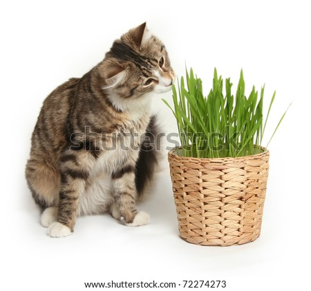 domestic cat in the grass on white background - stock photo