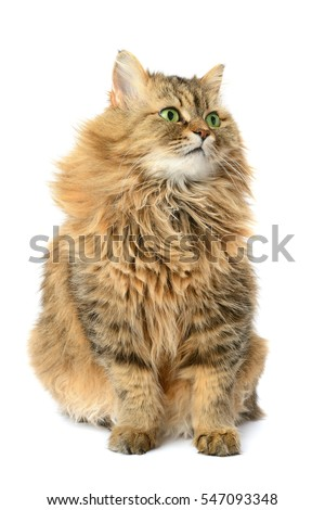 domestic cat isolated on a white background