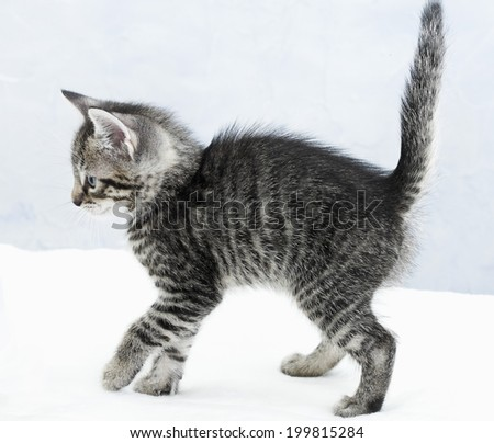 Domestic cat, kitten - stock photo