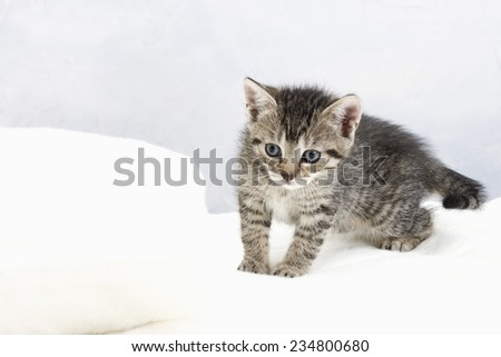 Domestic cat, kitten on white blanket - stock photo