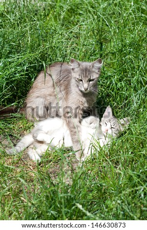 Domestic cat plays with her kitten