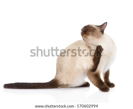Domestic cat scratching isolated on white background - stock photo