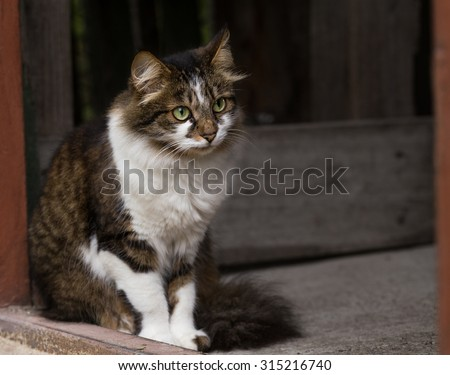 Domestic cat sits on the porch of a private house and looks out into the street.