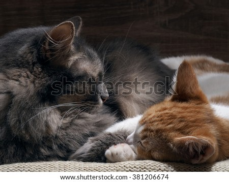 Domestic cats are sleeping comfortably. Big gray cat and the little kitten white with red. Cozy, warm, comfortable. Cats are happy, they love each other. Family cats