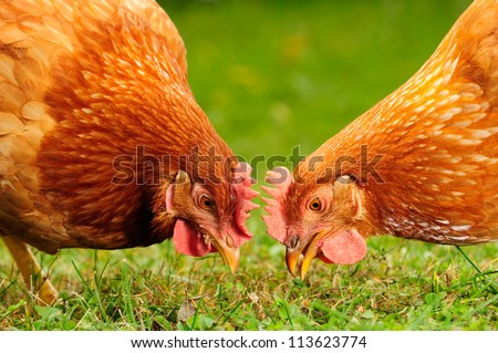 Domestic Chickens Eating Grains and Grass - stock photo