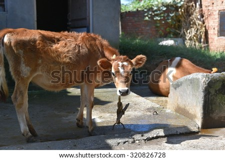 domestic cow tied to bamboo pole with neck rope