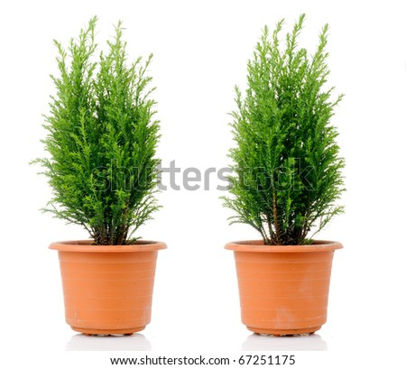 Domestic cypress isolated over white - stock photo