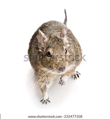 domestic degu hamster top angle view isolated on white background - stock photo