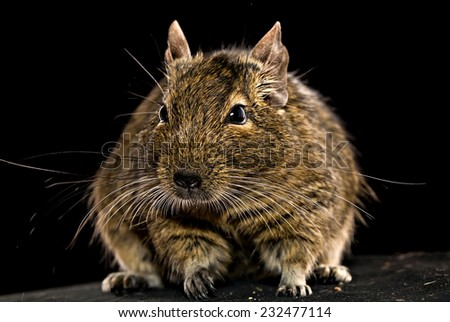 domestic fat degu hamster whole front view on black background - stock photo