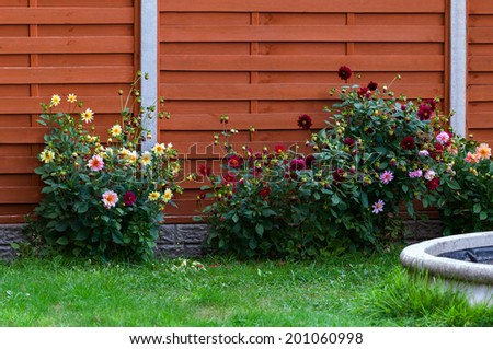 Domestic garden dahlia flowers and fence spring time - stock photo