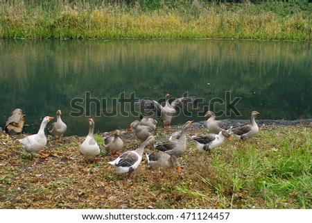 domestic geese on a river