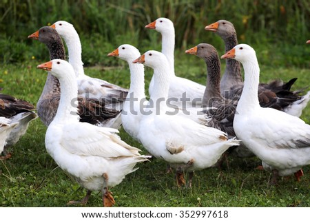 Domestic geese on  fresh green grass in the yard - stock photo