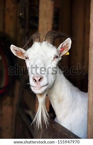 domestic goat - stock photo