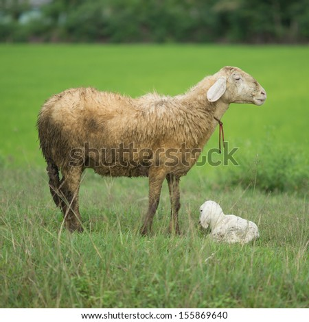 Domestic Goat, Mom and baby.
