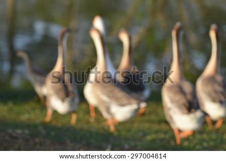 Domestic Goose (Embden goose)  - stock photo