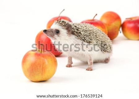 Domestic hedgehog with fresh apples. - stock photo