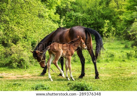 Domestic horse grazing in a mountain valley in the pasture on a background of Crimean mountains. Foal with his mother in the pasture fed with milk. - stock photo