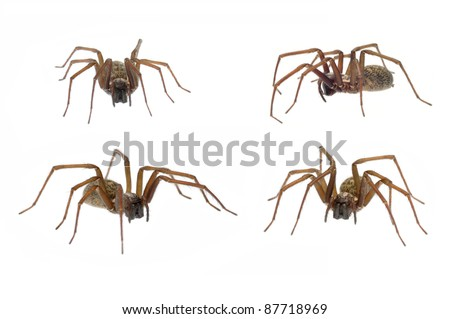 Domestic House Spider (Tegenaria domestica) in 4 positions isolated on white