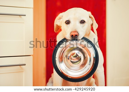 Domestic life with dog. Hungry dog with sad eyes is waiting for feeding in home kitchen. Adorable yellow labrador retriever is holding dog bowl in his mouth.  - stock photo