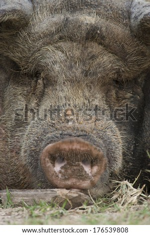 Domestic Pig, Sus scrofa domestica, laying down and covered in spotted mud, Controlled situation, Central Pennsylvania, United States