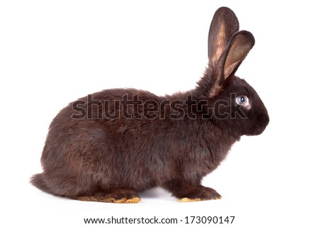 Domestic rabbit it is isolated in studio on a white background.