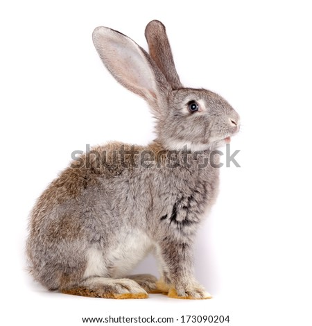 Domestic rabbit it is isolated in studio on a white background. - stock photo