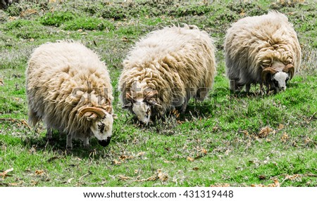 Domestic rams (male sheep) with horns, furry, fluffy wool and a black and white face, graze in a pasture. - stock photo