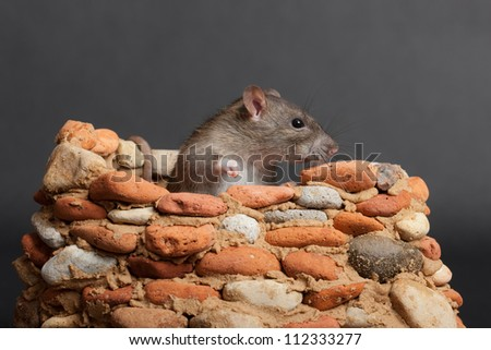 domestic rat in a small stone fortress
