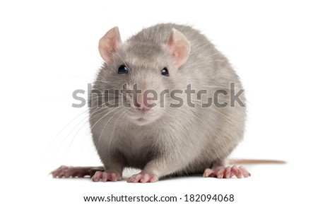 Domestic rat, looking at the camera, isolated on white