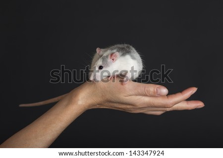 domestic rat on a hand against black background