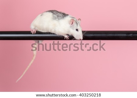 domestic rat sitting on a black tube - stock photo