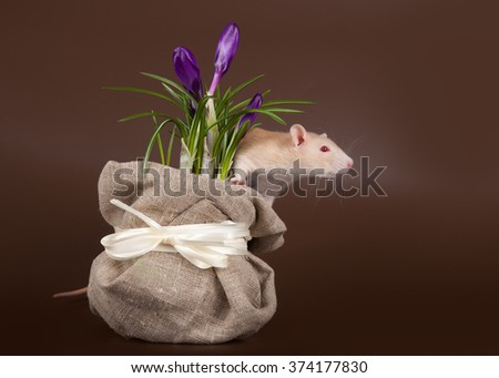domestic rat sniffs spring crocuses