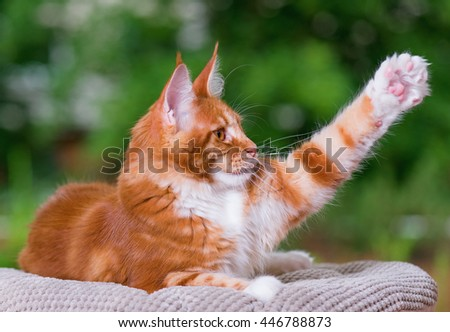 Domestic red Maine Coon kitten, 5 months old. Cat posing on green outdoor background.