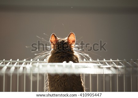 domestic rodent