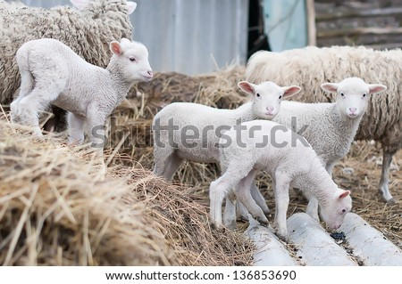 domestic sheep are walking in the yard - stock photo