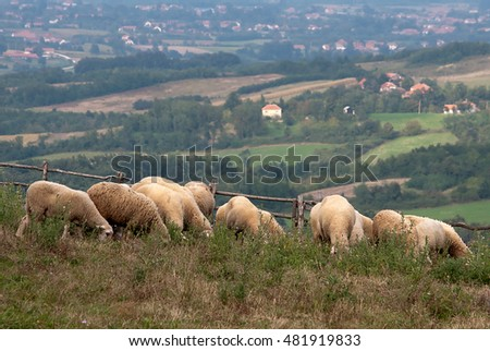 Domestic sheep eating grass in a meadow