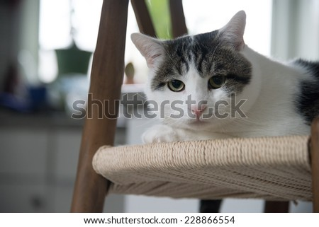 Domestic shorthair cat closeup portrait  indoors looking from above - stock photo