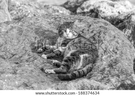 Domestic street cats lying relaxing on the rocks (black and white) - stock photo