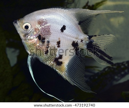 Cichlidae stock photos royalty free images vectors for Freshwater fish representative species