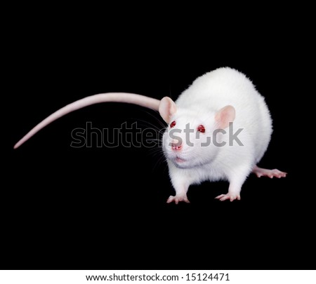 Domestic white rat on a black background