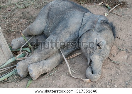 Domesticated baby elephant in Thailand, Asia