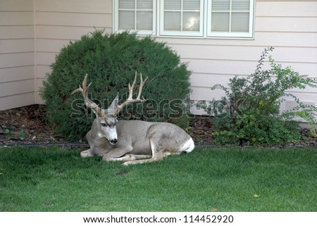 Domesticated buck lost inside a city neighborhood. - stock photo