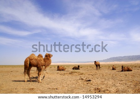 Domesticated camels in the Gobi Desert, Mongolia